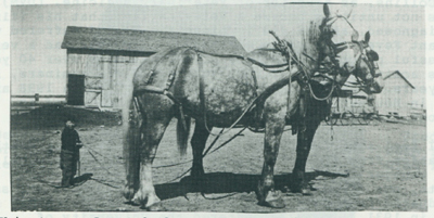 Young Ernie standing behind two horses.