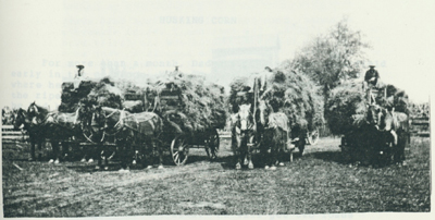 Four loads of bundles that will go to the threshing machine as soon as it has been set.