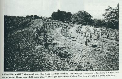 A Sonoma Valley vineyard uses the flood control method Jim Metzger espouses.